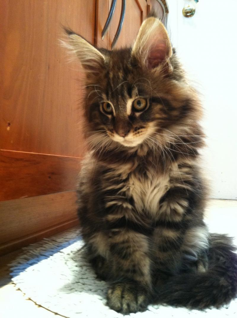 Coons Kin Cat Maine Coons About Coonskin Cat Maine Coons